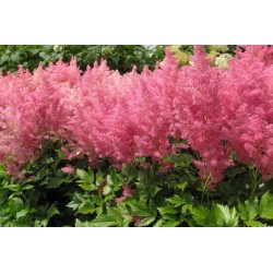 Astilbe rosa (Prachtspiere)