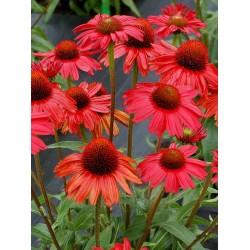 Echinacea Rot (Sonnenhut)